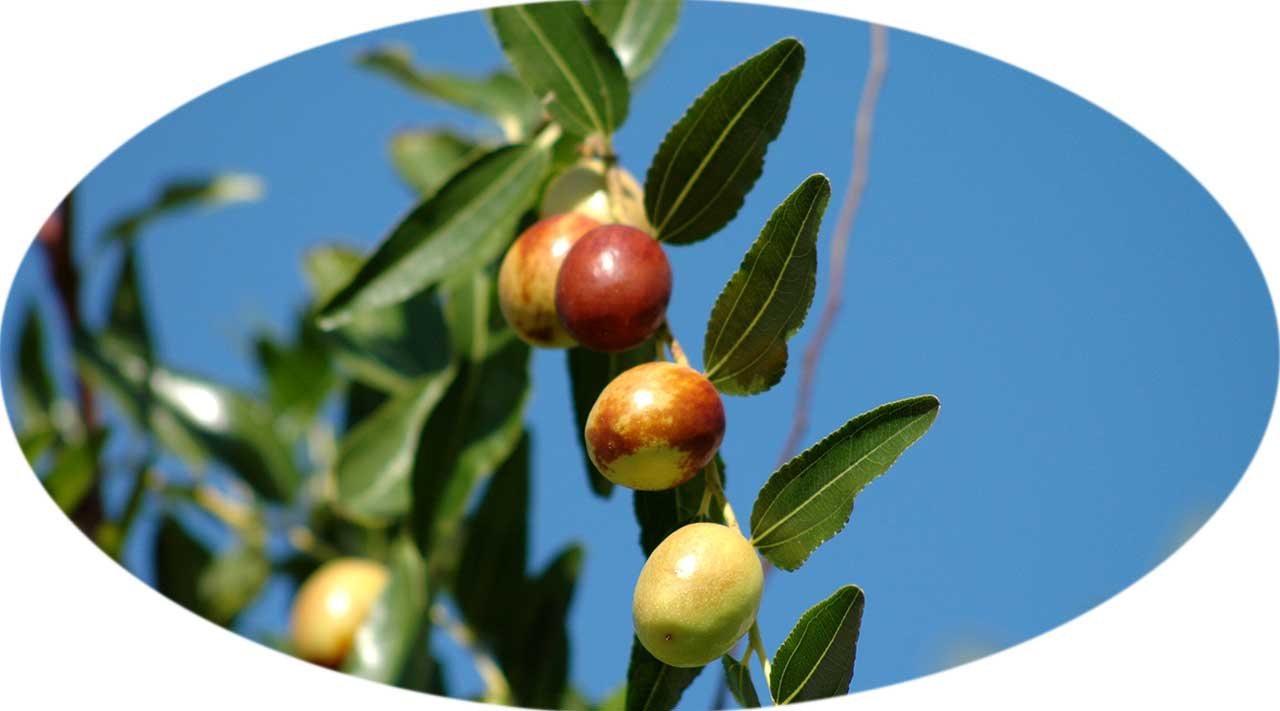 DUGI RAT - Olive tree
